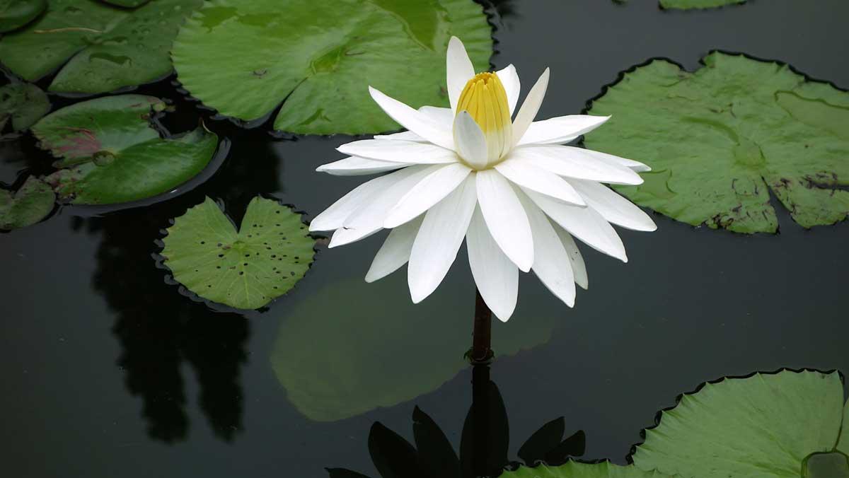 Weiß leuchtende Lilie